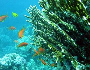 Fire coral - Millepora dichotoma