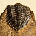 Minicryphaeus minimus pygidium CRF.jpg