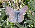 Mission Blue Butterfly (endangered) (5113641819).jpg