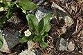 Moehringia macrophylla 7961.JPG