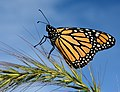 Monarch Butterfly on Foxtail in Michigan (21264018262).jpg