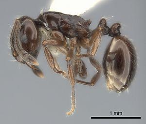 Monomorium bidentatum - M. bidentatum worker