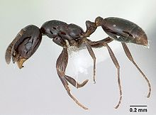 Monomorium minimum casent0173040 profile 1.jpg