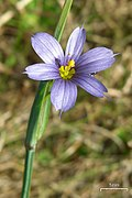 Montana Blue-Eyed Grass (3599528197).jpg