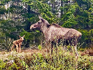 Moose mother and Child, by Umeälven (Umeå River) in Natura 2000 reserve in the Delta. Spring.jpg
