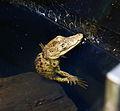 Morelet's Crocodile Baby (5382158558).jpg