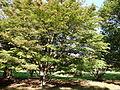 Morris Arboretum Cornus kousa.JPG