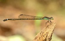 Mortonagrion varralli by Sunny Joseph 412.jpg