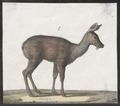 Moschus moschiferus - 1700-1880 - Print - Iconographia Zoologica - Special Collections University of Amsterdam - UBA01 IZ21500198.tif