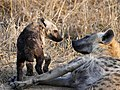 Mother Hyaena with Cubs (43841731325).jpg