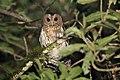 Mottled Owl (Ciccaba virgata) (5783277865).jpg