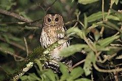 240px mottled owl (ciccaba virgata) (5783277865)
