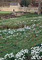 Mount Grace Snowdrops - geograph.org.uk - 684082.jpg