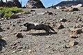 Mount Rainier - September 2017 - Hoary marmots 13.jpg