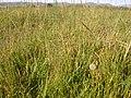 Muhlenbergia asperifolia (3918878125).jpg