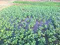 Mung bean field 1.jpg
