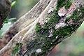 Murraya paniculata 2zz.jpg