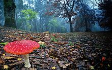 Amanita muscaria in Mount Lofty, South Australia