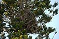 Myiopsitta monachus -nests-8e.jpg