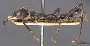 Description de l'image Myrmecia rowlandi 102013 casent0907094 p 1 high.jpg.