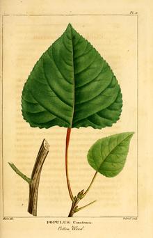 Populus X Canadensis Wikipedia La Enciclopedia Libre