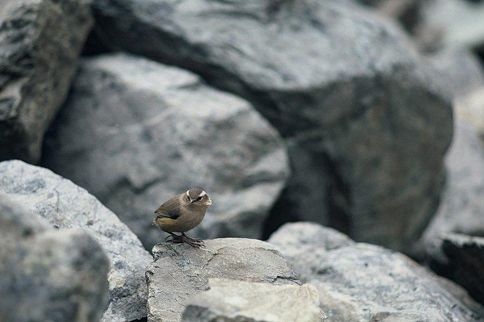 NZ Rock Wren among Rocks
