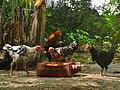 Native chicken farm life.jpg