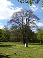 Naturdenkmal Blutbuche auf dem St.-Johannis-Kirchhof.jpg