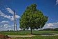Naturdenkmal Linde in den Schloßwiesen, Nebringer Straße, Jettingen-Sindlingen, Kennung 81150530009, von Westen.jpg