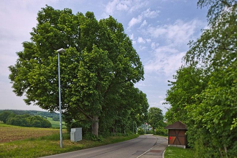 File:Naturdenkmal Lindenreihe und Grubbank, Kennung 82350290007, Gechingen 02.jpg