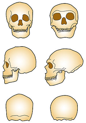 Neanderthal extinction - Sapien and Neandertal skulls