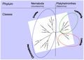 Nematodes, Platyhelminthes Phylogeny.png