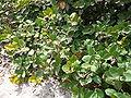 Neocarya macrophylla 0003.jpg