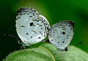 Neopithecops zalmora in love by Kadavoor.JPG