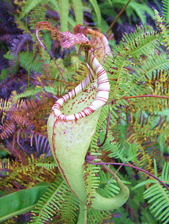 Nepenthes fusca - An upper pitcher of N. maxima from Sulawesi