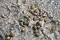 Nerita versicolor (four-toothed nerite snails) in a rocky shore intertidal zone (San Salvador Island, Bahamas) 14 (15395939763).jpg