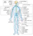 Nervous system diagram-hi.png