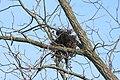Nest in Walnut Tree 3787 (5110624655).jpg