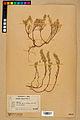 Neuchâtel Herbarium - Alyssum alyssoides - NEU000021961.jpg