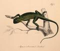 Neue Wirbelthiere zu der Fauna von Abyssinien gehörig (1835) Agama agama.png