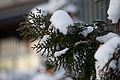 Neve em folhas de Chamaecyparis pisifera 02.jpg