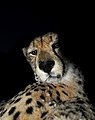 New 9548 Cheetah i Tshukudu JF.jpg