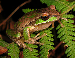 Description de l'image New England Tree Frog - Litoria subglandulosa.jpg.