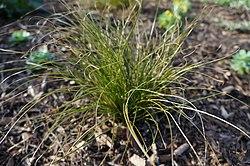 New Zealand sedge Carex testacea (16750107068).jpg