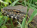 Nile Monitor (Varanus niloticus) (6046423432).jpg