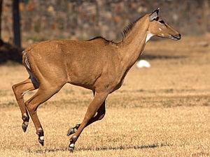 Nilgai - A nilgai running