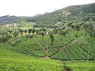 Nilgiris Tea Plantation