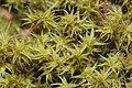 Niphotrichum elongatum (a, 144941-481725) 2986.JPG