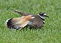 No one can fake an injury like a Killdeer (34936663755).jpg
