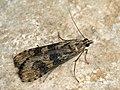 Nomophila noctuella - Rush veneer - Огнёвка совковидная (40800317002).jpg